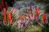 When the aloes bloom in the Karoo.