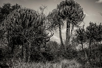 Candelabra Trees in Kruger