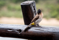 Common South African Bulbul. Kruger National Park.