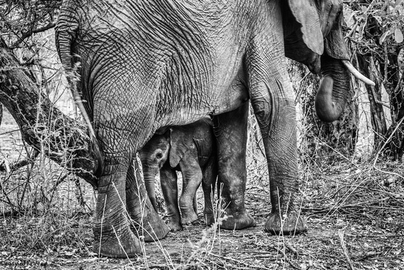 Elephant Mother with newborn youngster 2